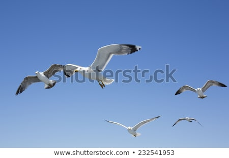 seagull flying with food stock photo © taden