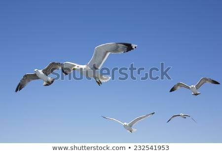 Gaviota vuelo alimentos naturaleza aves libertad Foto stock © taden