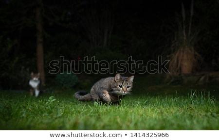 кошки · охота · саду · лице · трава · глазах - Сток-фото © meinzahn
