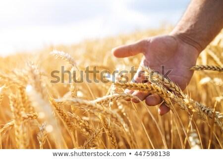 élvezi · arany · búzamező · kezek · megérint · érett - stock fotó © anna_om