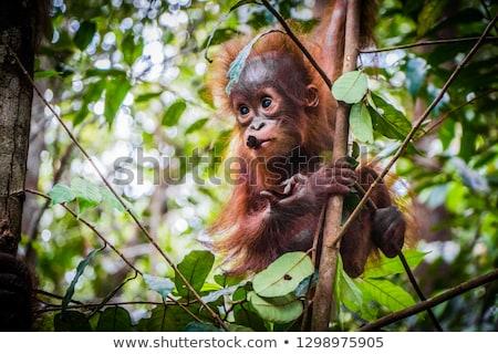 Ape - Orangutan Stock photo © ivanhor