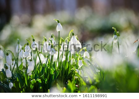 Group of Snowdrops Stock photo © manfredxy