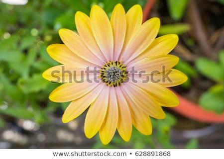 黄色 · アフリカ · ヒナギク · アップ · 表示 - ストックフォト © mroz