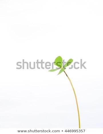 Shamrock feuille blanche illustration fond vert Photo stock © bluering