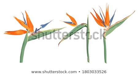 Beautiful strelitzia flower Stock photo © luissantos84