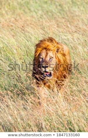 leão · caminhada · alto · grama · parque · Botswana - foto stock © simoneeman