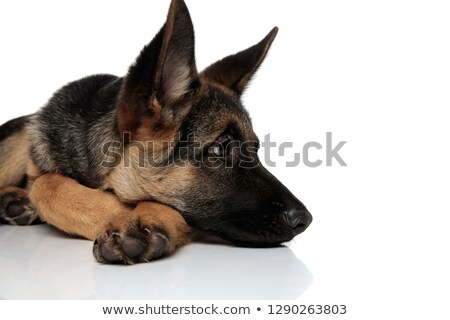 close up of curious german shepard lying with head down Stock photo © feedough