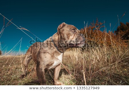 side view of American bully looking attentively away Stock photo © feedough
