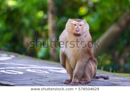 vicces · majom · portré · Krabi · Thaiföld · fa - stock fotó © galitskaya