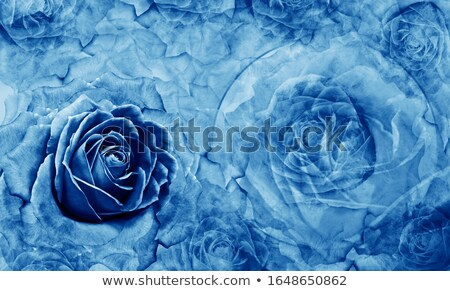 Composition with turquoise roses Stock photo © blackmoon979