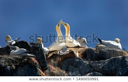 Colony of Northern Gannets Stock photo © dirkr