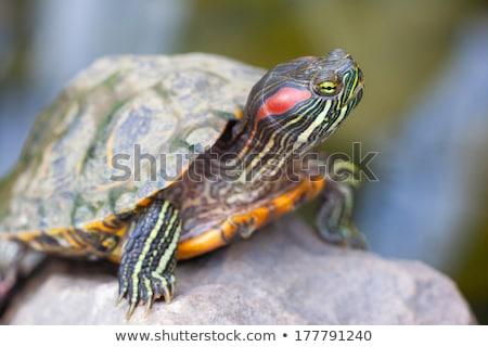 Kaplumbağa güneşlenme lotus yaprak göz güneş Stok fotoğraf © Arrxxx