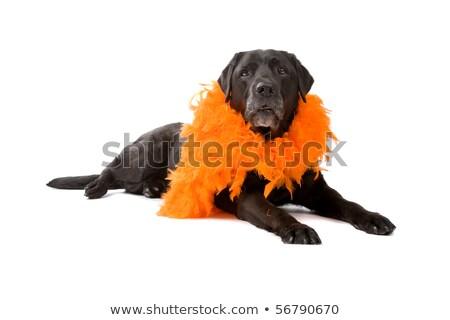 Stok fotoğraf: Siyah · labrador · retriever · köpek · zemin · yalıtılmış · beyaz