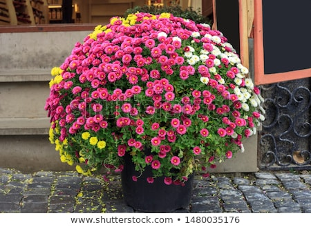 amarillo · crisantemo · hermosa · pequeño · aislado - foto stock © ruslanomega