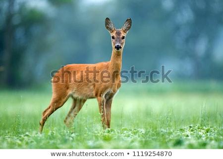 roe deer doe stock photo © taviphoto