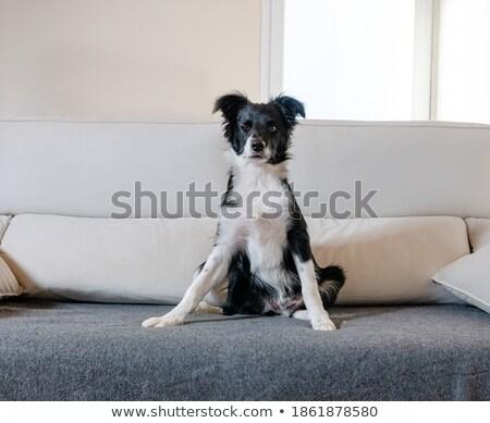 Puppy border collie witte dier huisdier Stockfoto © cynoclub