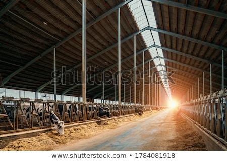 egyedüli · marhahús · szarvasmarha · fajta · nyár · tehén - stock fotó © tepic