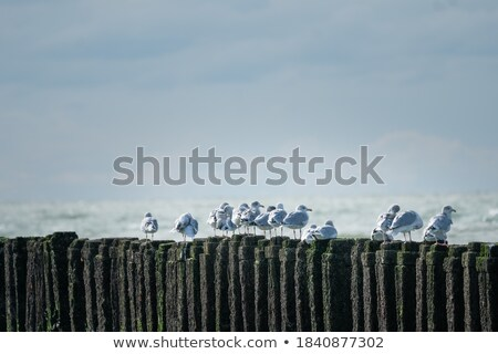 A herring gull on a pole Stock photo © michaklootwijk