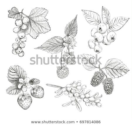 berries of strawberry and mulberry Stock photo © Masha