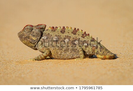 Foto stock: Camaleão · deserto · animal · arbusto · estranho · estranho