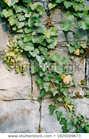 Green Ivy On Stone Wall Stock photo © cosma