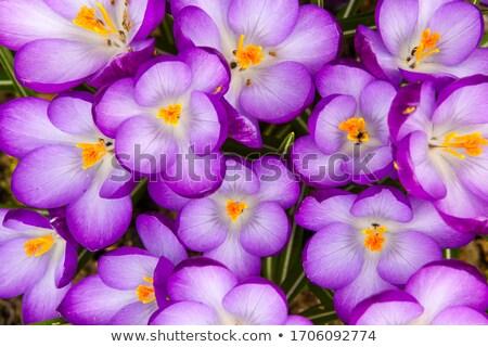 Açafrão completo florescer acima flor árvore Foto stock © phila54