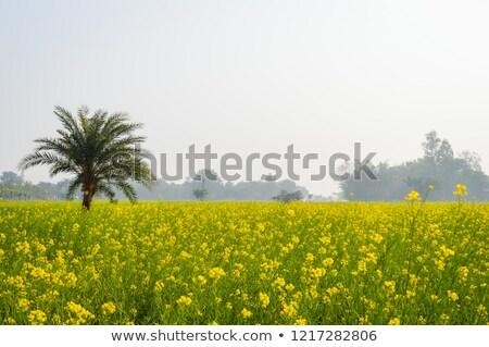 Rural musterd field  in Bangladesh Stock photo © bdspn