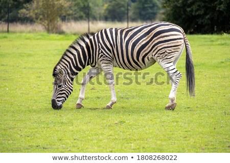 zebra grazing paddock stock photo © oleksandro