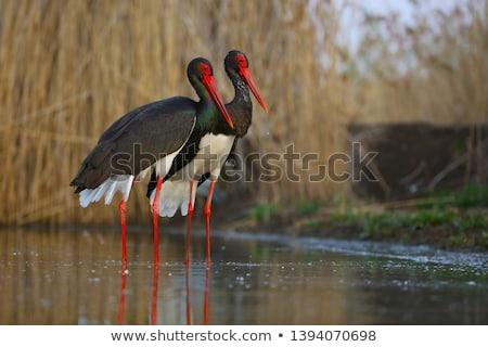 Black Stork (Ciconia nigra) Stock photo © dirkr