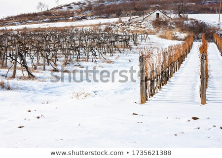 Wineyard in the winter Stock photo © tang90246