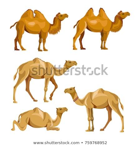Camello caminando plantean vector imagen aislado Foto stock © Istanbul2009