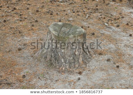 forest cones on the old stump stock photo © valeriy