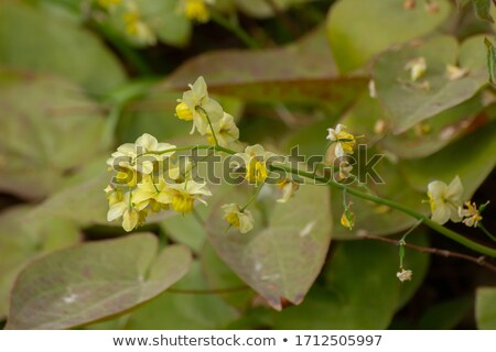 Epimediums yellow flowers Stock photo © mady70