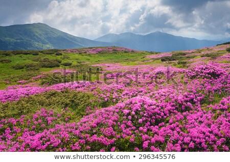 Flowers in the mountains overcast day Stock photo © Kotenko