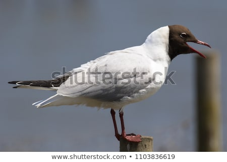 black headed gull larus ridibundus stock photo © chris2766