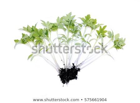 томатный саженцы белый пластиковых одноразовый Кубок Сток-фото © Valeriy