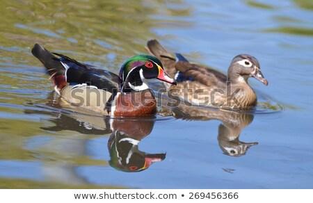 木材 · カモ · メイト · 自然 · 鳥 · スイミング - ストックフォト © davidgn
