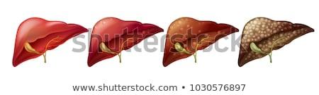 различный человека печень иллюстрация здоровья фон Сток-фото © bluering