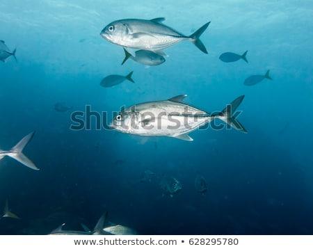 underwater photos of sea fish herd stock photo © yongkiet
