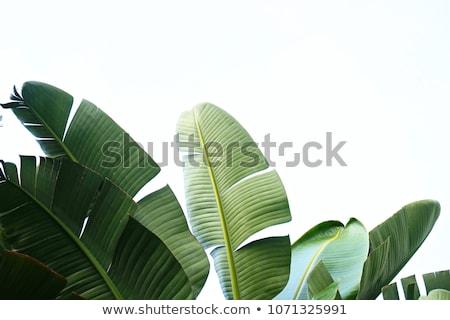 Minta friss zöld levelek kék copy space természetes Stock fotó © artjazz