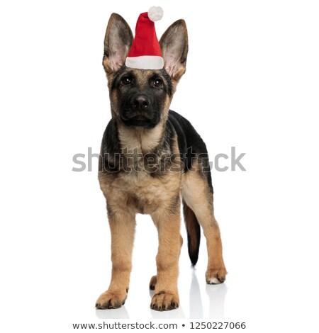 cute little german shepherd puppy wearing santa hat standing Stock photo © feedough