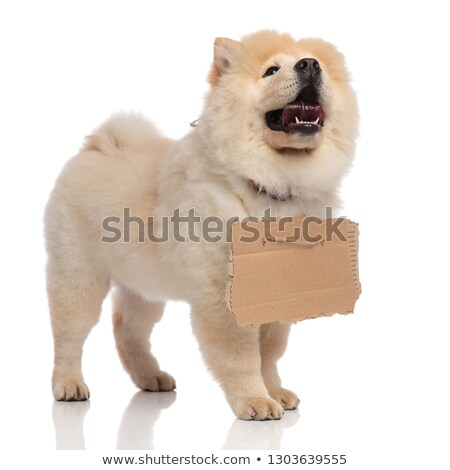 cute chow chow with tongue exposed wants to be adopted Stock photo © feedough