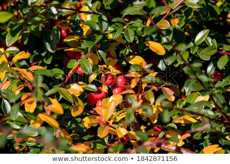 Stock photo: autumn red gaultheria background