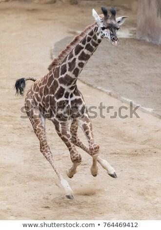 Giraffa esecuzione foresta illustrazione albero primavera Foto d'archivio © colematt