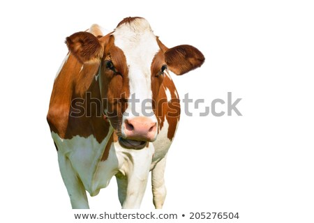 portrait of the white and brown cow stock photo © dashapetrenko