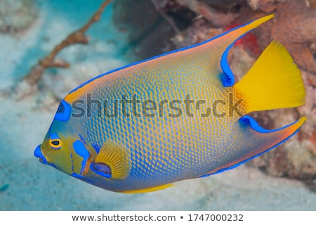 colorful angelfish Stock photo © designsstock
