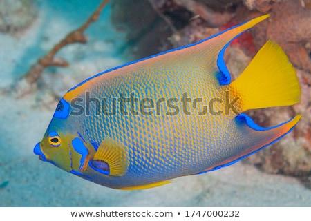 belo · exótico · peixe · tropical · anjo · oceano · subaquático - foto stock © designsstock