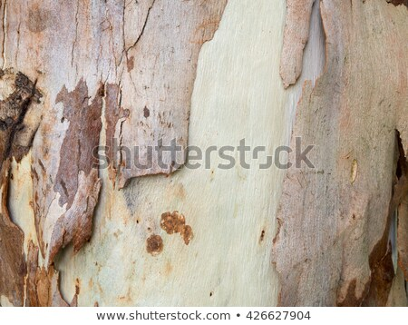 spotted gum tree trunk with bark Stock photo © byjenjen