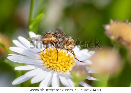 Marsh Fly (Tetanocera) Stock photo © brm1949