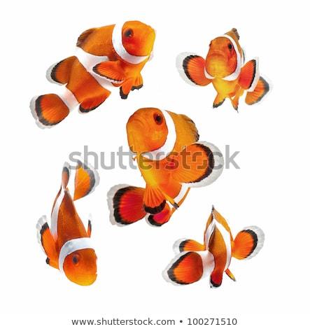 clown · poissons · isolé · blanche - photo stock © viva